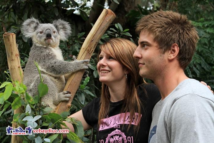 Chụp ảnh cùng gấu Koala ở công viên Featherdale
