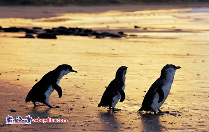 Đảo Phillip