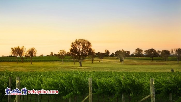 Vùng Tự Trị Thủ Đô Úc trồng nho